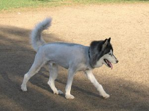 Double coated breeds which are in high demand for being shaved are Siberian Husky, Golden Retriever, ...
